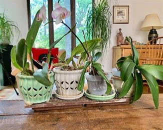 $25 each - 4 potted orchids - 2 orchids on the left are SOLD