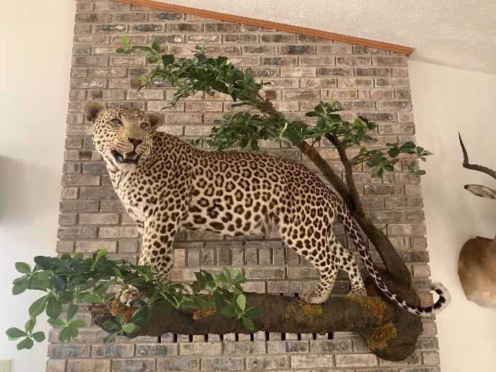 Taxidermy was used to create a lifelike pose on this African Leopard.