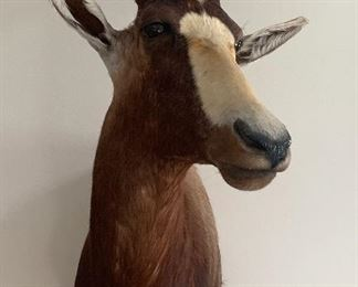 Blesbok (antelope) Shoulder Mount - Taxidermy