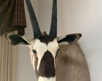 Gazelle Head Mount - Taxidermy