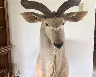 African Antelope (Large) Taxidermy