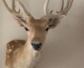 Head Mounted White Tail Deer