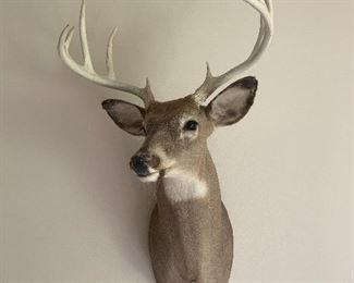 Mounted White Tail Deer