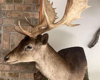 Mounted Fallow Deer