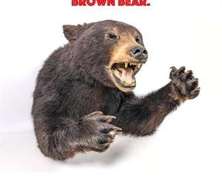 Lot 127 Taxidermy Shoulder Mount Brown Bear.