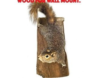 Lot 128 Taxidermy Squirrel on Wood for wall Mount.