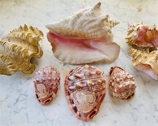 Clam shell, conch shell and bullmouth red helmet shells