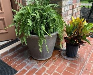 Large fern potted plant *we have two