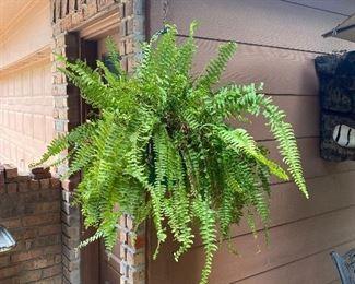 Live fern plant