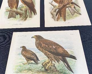 Ornithologia Neerlandica -Antique Prints of British Birds- Van Oort, 1922