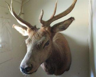 Elk Taxidermy
