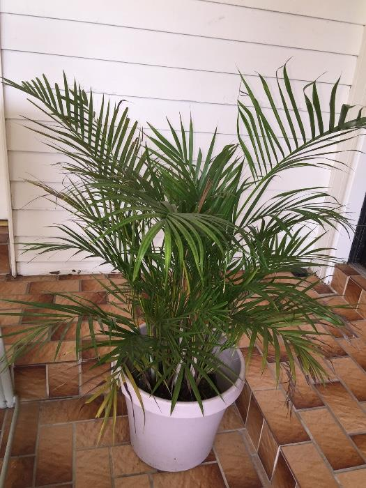 Palm tree w/pot
