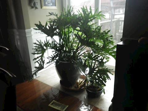 Split Leaf Philodendron with Large Ceramic Pot