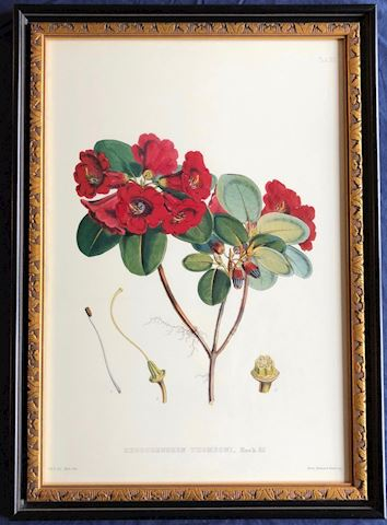 Framed Print.  Rhododendron Thomsoni.