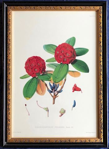 FRAMED Rhododendron Fulgens  Print.