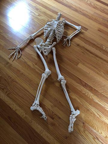 Life size human skeleton, model, build, no skull